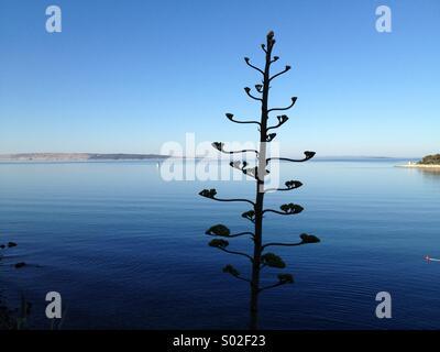 Agave tree in Rab, Croatia - Stock Photo