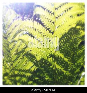 Ferns in Sunshine - Stock Photo
