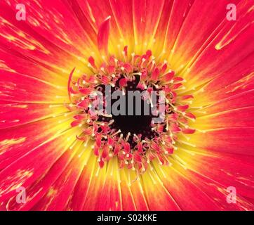 Sun burst, yellow and red flower petals & pistons - Stock Photo