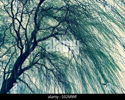 Willow tree in the wind - Stock Photo