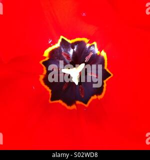 Black uneven shape on strong red background Tulip flower close up - Stock Photo