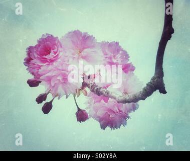 Pink cherry blossom flowers - Stock Photo
