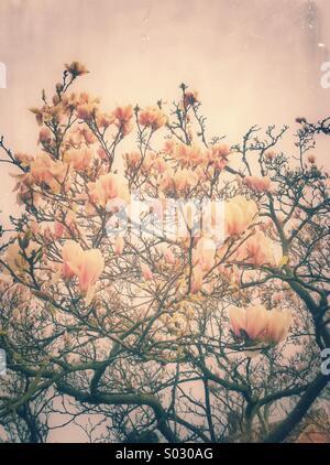 Magnolia flowers tree - Stock Photo