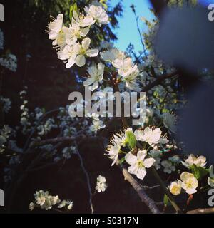 Artistic photo of cherry blossoms in the spring sun. - Stock Photo