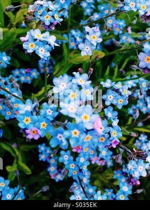 Forget me not's - Stock Photo