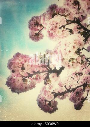 Pink cherry blossom flowers in spring season - Stock Photo