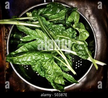 Freshly harvested spinach beet leaves in a colander - Stock Photo