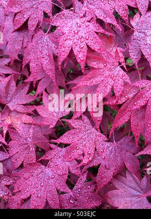 Red Japanese Maples in rain, Oregon - Stock Photo