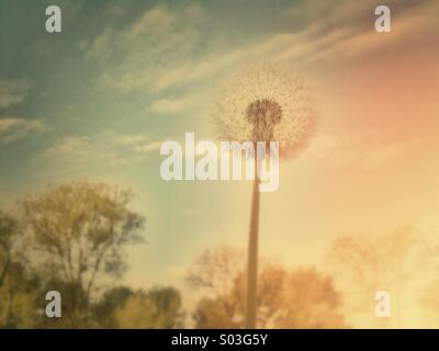Dandelion seed head with retro-effect filter applied - Stock Photo