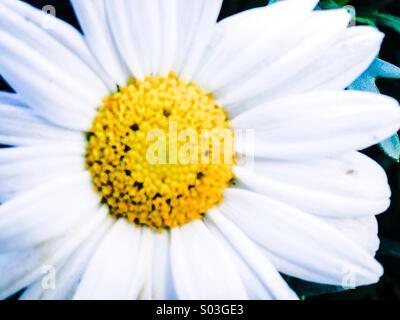 Michaelmas Daisy flower close up - Stock Photo