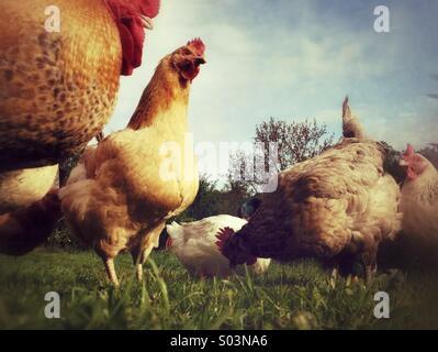 Chickens on free-range farm - Stock Photo