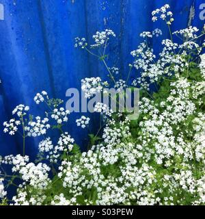 Cow parsley flowers ( Anthriscus sylvestris) also called Queen Anne's Lace. - Stock Photo