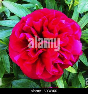 Peony flower in full bloom - Stock Photo