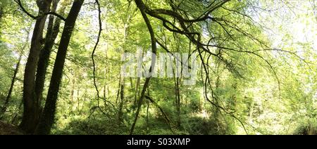 Panoramic woodland scene, backlit with sunlight in late spring - Stock Photo