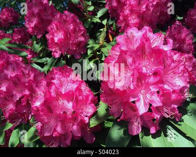 Red Rhododendron in Bloom - Stock Photo