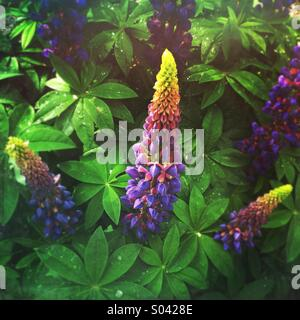 Blue lupin or lupine (Lupinus) flowers in bloom in spring - Stock Photo