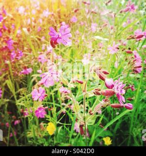 Red Campion (Silene dioica, syn. Melandrium rubrum), pink wildflowers growing in sunny field in spring, La Creuse, - Stock Photo