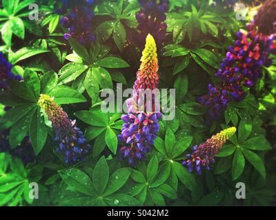 Blue lupin or lupine (Lupinus) flowers in bloom after spring rain - Stock Photo