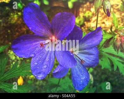 Geranium 'Johnsons' Blue' (Geranium himalayense × Geranium pratense) flowers in garden - Stock Photo