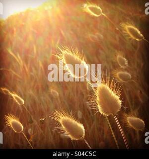 Harestail grass glowing in evening sun on coastal sand dunes - Stock Photo