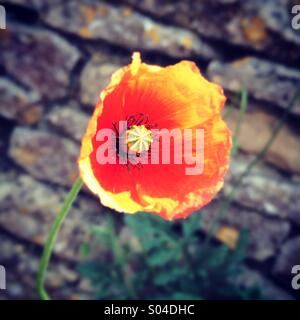 Red poppy against brick wall - Stock Photo