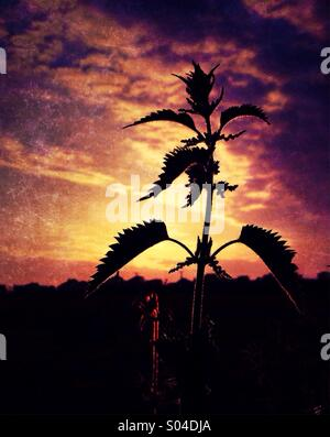 Thistle in silhouette against evening sky - Stock Photo