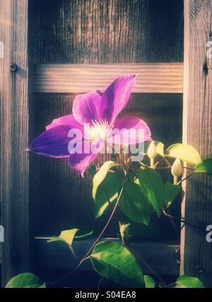 Purple clematis flower - Stock Photo