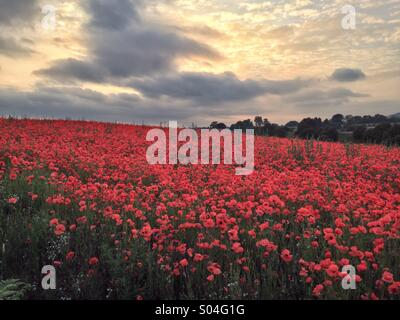 Poppy Field, Blackstone Nature Reserve, Worcestershire - Stock Photo