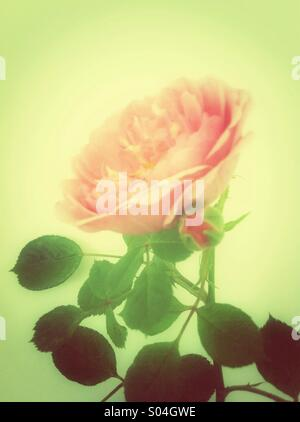 Pink rose flower with a bud - Stock Photo