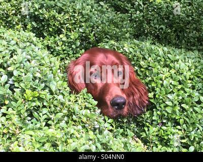9 month old Irish Setter peeks his head through box hedge. - Stock Photo