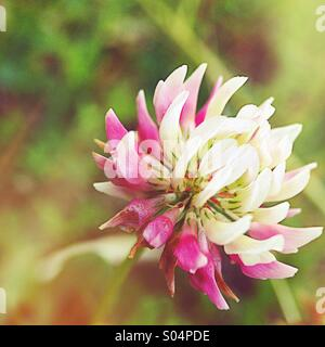 Purple clover - Stock Photo