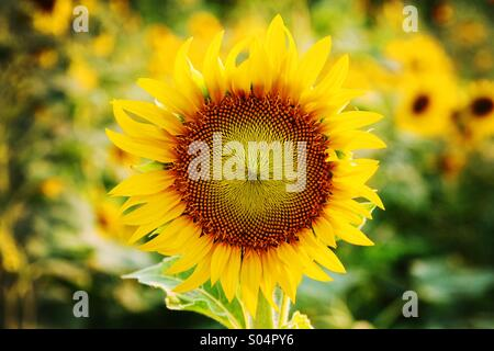 Focus big sunflower on the field in center and blurry background - Stock Photo