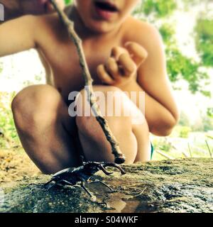 Young boy poking a bug with stick, European Stag Beetle (Lucanus cervus) - Stock Photo