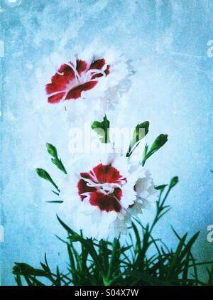 Red white dianthus flowers - Stock Photo