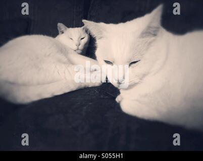Two sleepy white male domestic short hair cats dozing on living room furniture. - Stock Photo