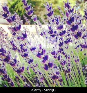 Lavender Blowing in the Breeze! - Stock Photo