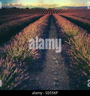 Lavender fields in full bloom in early July at sunset, Plateau de Valensole, Alpes-de-Haut-Provence, Provence-Alpes - Stock Photo