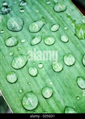 Drops of rain on the leaf of a yucca plant - Stock Photo