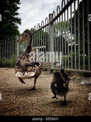 Two chicks follow their mother duck - Stock Photo