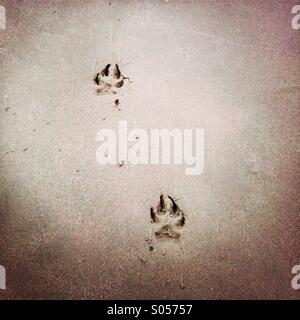 Dog paw prints in the sand. - Stock Photo
