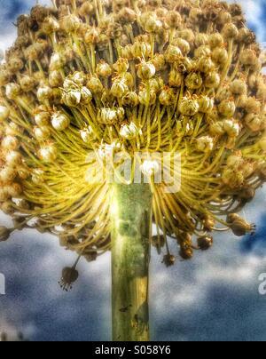 Allium flower head - Stock Photo
