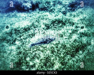 Parrot fish swimming over algae sea bed. - Stock Photo