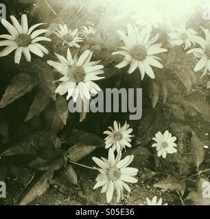 Gerbera daisies - Stock Photo