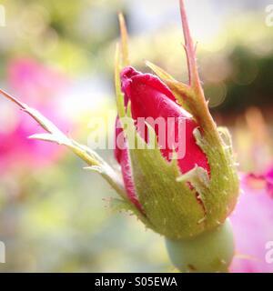 Rosebud - Stock Photo