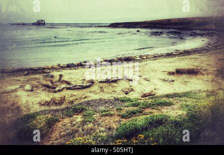 Elephant seals, San Simeon California - Stock Photo
