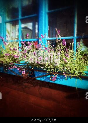 Lavender at the window - Stock Photo