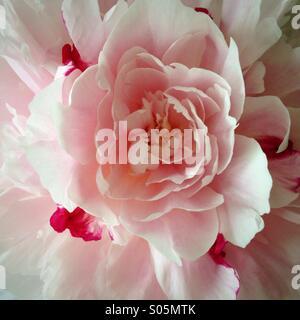 Eine Rose ist eine Rose ist eine Stock Photo