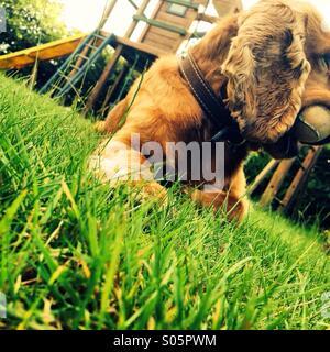 A cocker spaniel dog outside enjoying the sun - Stock Photo