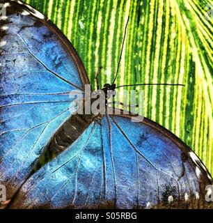 Close up of blue butterfly on green leaf - Stock Photo