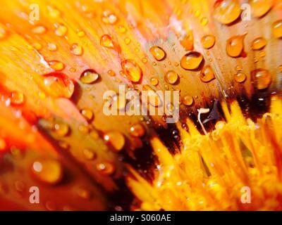 Water drops on a gazania flower head - Stock Photo